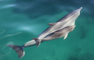 Meet the Dolphins: Dolphin-watching cruise and/or swimming with dolphins in their natural habitat