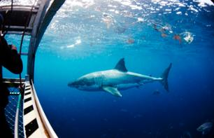 Meet a Great White Shark: Shark-watching cruise and/or cage dive in the ocean – Departing from Port Lincoln