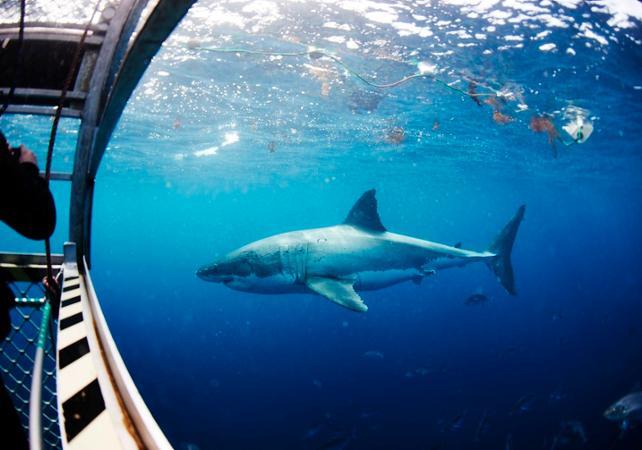 Rencontre avec le grand requin blanc : croisière d'observation et/ou plongée en cage en milieu naturel - Au départ de Port Lincoln image 1