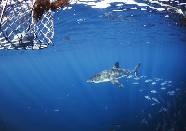 Rencontre avec le grand requin blanc : croisière d'observation et/ou plongée en cage en milieu naturel - Au départ de Port Lincoln image 3