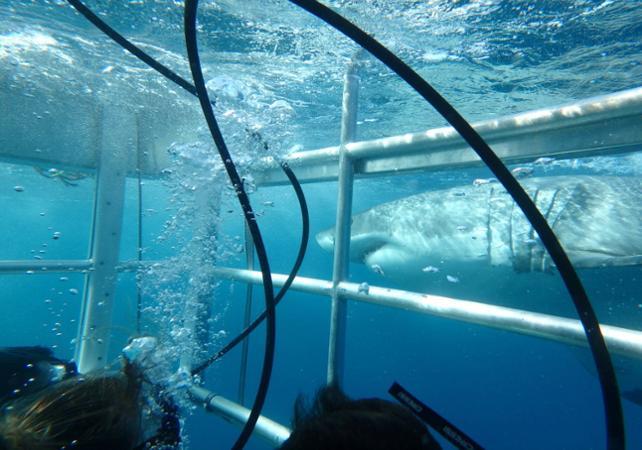 Rencontre avec le grand requin blanc : croisière d'observation et/ou plongée en cage en milieu naturel - Au départ de Port Lincoln image 2