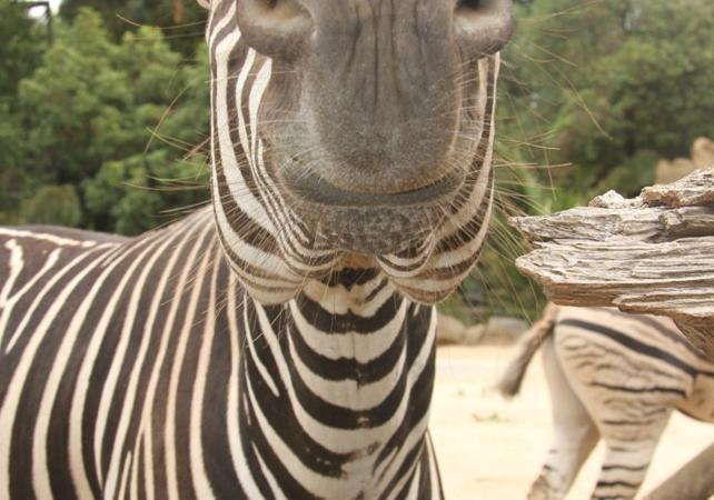 Billet Zoo de Melbourne image 8
