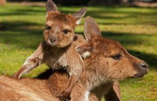 Excursion to the countryside to discover Australia's animals: kangaroos, koalas, the duck-billed platypus, emus and wombats!