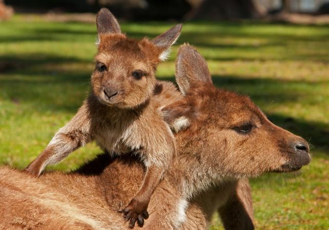 Excursion dans la nature à la découverte des animaux d'Australie: kangourous, koalas, ornithorynques, émeus et wombats! image 1