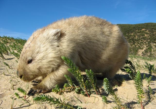 Excursion dans la nature à la découverte des animaux d'Australie: kangourous, koalas, ornithorynques, émeus et wombats! image 4