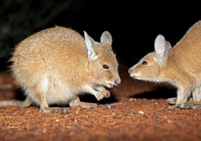 Alice Springs Desert Park : visite guidée nocturne à la découverte des animaux rares ou en voie de disparition image 1
