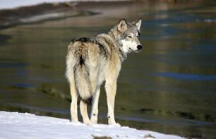 Semi-Private Guided Tour of Wolfdog Sanctuary – In Cochrane (40 mins from Calgary/1hr. from Banff)