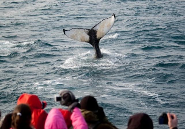 Photo Croisière hivernale à la découverte des baleines – départ de Reykjavik