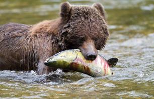 Bear Watching in the Rainforest – 4 days/3 nights in an ecolodge, departing from Port Hardy