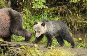 Bear Watching in the Rainforest – 7 days/6 nights in an ecolodge, departing from Port Hardy