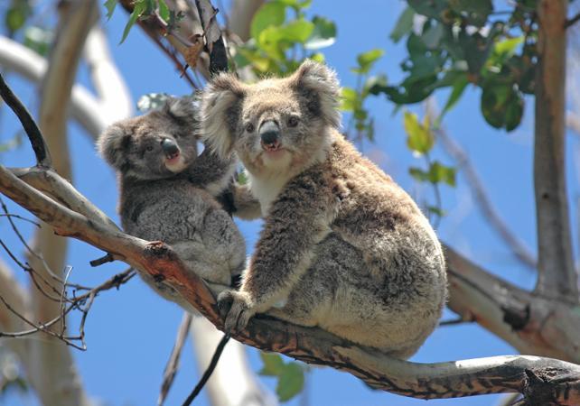 Tour typiquement australien : traversée en train à vapeur, dégustation de vins et rencontre des koalas et des kangourous image 6