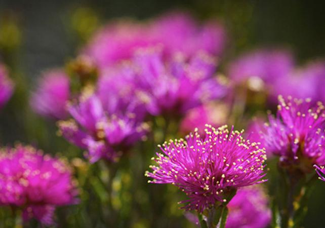 Visite guidée sur la thème des fleurs d'Australie Occidentale image 3