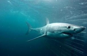 Cage Diving with Great White Sharks – In Gansbaai (2 hours from Cape Town)