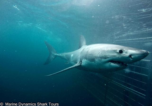 Photo Plongée en cage avec le grand requin blanc - A Gansbaai (à 2h de Cape Town)