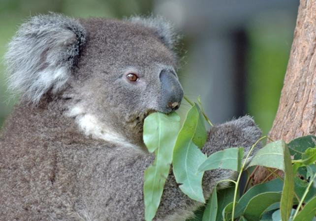Photo Petit déjeuner avec les Koalas + Visite guidée du WILD LIFE Sydney Zoo
