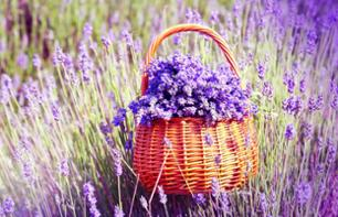 Discover the Lavender fields and visit the Lavender Museum