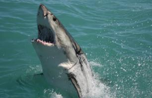 Extreme Adventure: Cage Diving with Great White Sharks – Departing from Cape Town