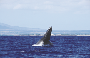 Whale watching cruise off the coast of Oahu–Departing from Waikiki