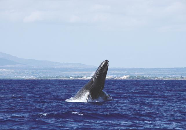 Croisière d'observation des baleines - A Oahu - Hawaii (Oahu, Maui, Big Island...) -