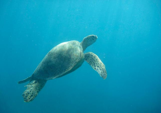 Croisière en catamaran et plongée avec tuba au milieu des tortues de mer - A Oahu - Hawaii (Oahu, Maui, Big Island...) -