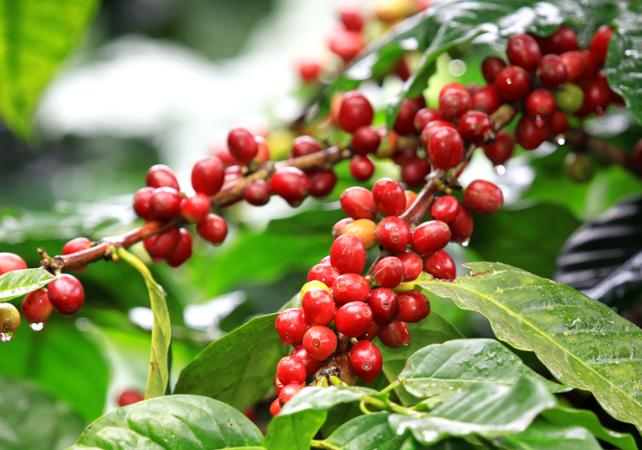 ,Excursion to Coffee Plantations