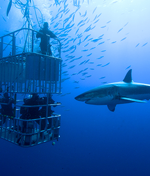Diving with the Great White Shark